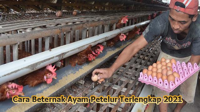 Cara Beternak Ayam Petelur Terlengkap 2021