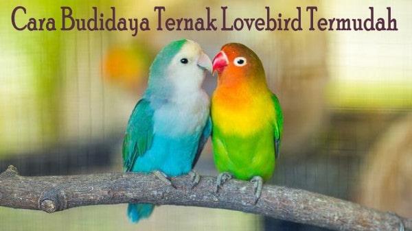 Cara Budidaya Ternak Lovebird Termudah