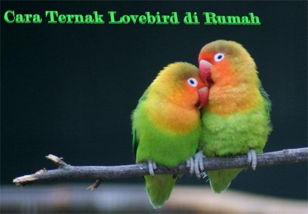 Cara Ternak Lovebird di Rumah